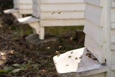 Colmenas y porciones blancas de abejas Foto de archivo