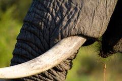 Colmillo del elefante Fotos de archivo libres de regalías