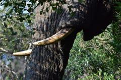 Colmillos del elefante Imágenes de archivo libres de regalías