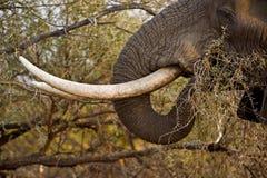 Colmillos del elefante Imagen de archivo libre de regalías