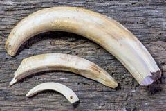 Colmillos, facoquero de los dientes Foto de archivo
