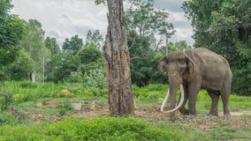 Colmillos largos tailandeses del elefante Foto de archivo libre de regalías