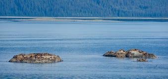 A colônia de leões de mar de Steller toma sol no sol Imagem de Stock Royalty Free
