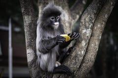 Colobinae också grå Langur som äter tailed apan för frukt den länge på trädet arkivfoton