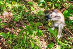 Colobus Занзибара красные или kirkii Procolobus Стоковое Изображение