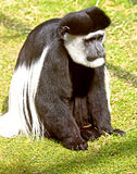 Colobus 1 Royalty Free Stock Photos
