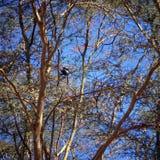Colobus Стоковая Фотография