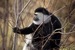 Colobus Stock Photo