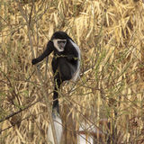 Colobus Stock Photos