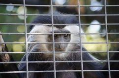 Colobus-Affe, der Leute durch den Käfig betrachtet Stockfotografie