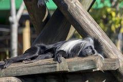 Colobus-Affe, der sich sonnt Lizenzfreie Stockfotos