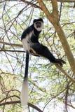 Colobus-Affe scannt die Umgebungen Stockfotografie