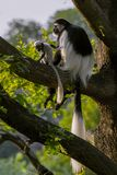Colobus-Affe spielt mit Kind auf dem Baum Colobus guereza Stockfotos