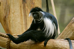 colobus angolensis της Ανγκόλα Στοκ Φωτογραφίες