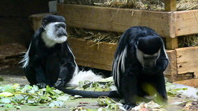 Colobus animals indoors stock video footage