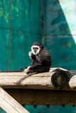 Colobus Stock Images