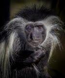 colobus Colobus guereza małpy portret, patrzeje prosto przy kamerą Obrazy Stock