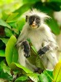 colobus czerwień Zanzibar Fotografia Royalty Free
