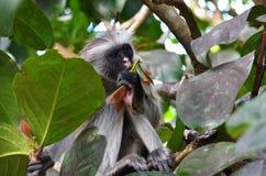 Colobus czerwona małpa, Zanzibar Fotografia Royalty Free