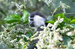 Colobus de l'Angola (angolensis de Colobus) Photo stock