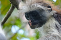 Colobus in deep thought Royalty Free Stock Photos