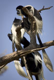 Colobus guereza Royalty Free Stock Photos