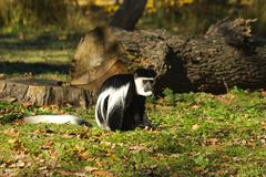 Colobus guereza Obrazy Royalty Free