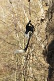 Colobus guereza Stockfotos