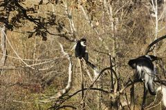 Colobus guereza Lizenzfreie Stockfotos