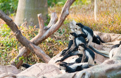 Colobus guereza Stock Photo