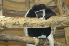 colobus guereza kikuyyensis latin małpy imię Fotografia Stock