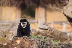 Colobus Guereza Monkey. Photo on Blurred BAckground Stock Images