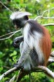 colobus lasowa jozani małpy czerwień Obraz Stock