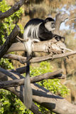 Colobus małpa z długim białym ogonem Fotografia Royalty Free