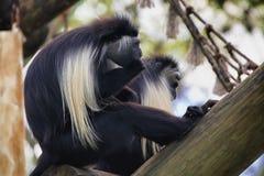 Colobus małpa Obraz Stock