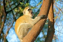 Colobus małpa Zdjęcia Stock
