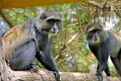 Colobus małpa Zdjęcie Stock