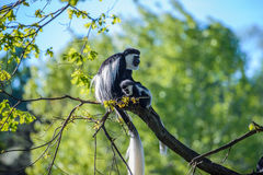 Colobus małpy Colobus angolensis Zdjęcia Stock