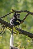 Colobus małpy Colobus angolensis Zdjęcia Royalty Free