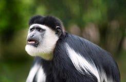 Colobus Monkey. A desperately looking black and white Colobus monkey Stock Images