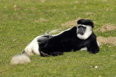 Colobus monkey. A male Colobus monkey half sleeping in the grass royalty free stock image