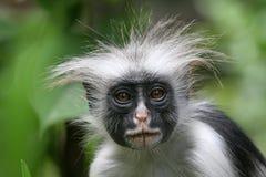 Colobus Monkey. Zanzibar Red Colobus, Piliocolobus kirkii, Portrait Royalty Free Stock Photography