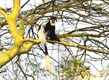 Colobus monkey Stock Image