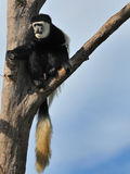 Colobus Monkey. Black and White Colobus Monkey Sitting on the tree Royalty Free Stock Photos