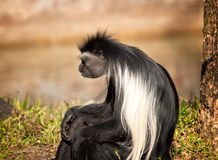 Colobus Monkey Royalty Free Stock Photography