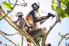 Colobus monkey with baby Stock Photography