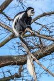 Colobus monkey Stock Image