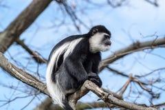 Colobus monkey Stock Photography