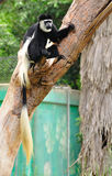 Colobus monkey. Royalty Free Stock Photos