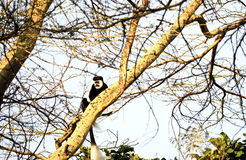Colobus monkey in Kenya Royalty Free Stock Photo